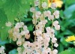 Смородина - белоснежная и очень полезная