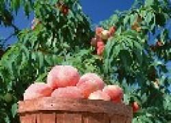 Прививки персика