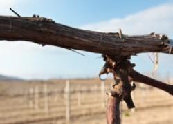 Виноград заплакал в феврале