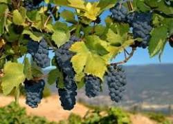 Универсальные сорта винограда