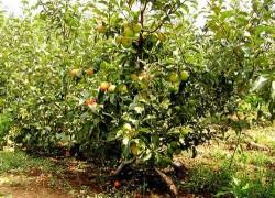 Карликовые сорта яблонь