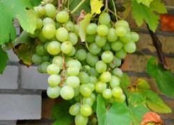Сорта винограда любительской селекции