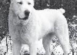 Алабай – охранник и пастух