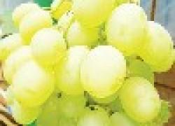 Русский размер виноградной ягодки