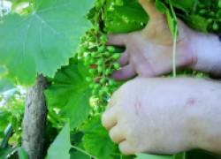 Для чего нужно уменьшать грозди винограда. ВИДЕО