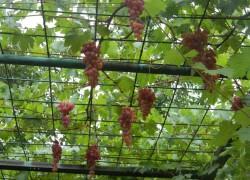 Как выращивать виноград на арке