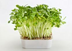 Вырастите кресс-салат к новому году
