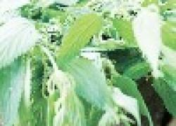 Чудо-трава крапива