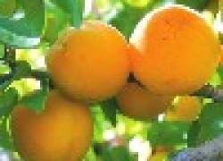 Самый сладкий абрикос