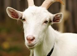 Вши у козы