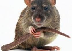 Микоплазмоз у крысы