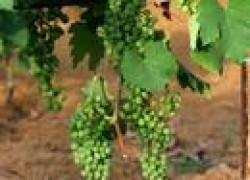 Не рубите листья винограда