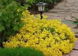 Алиссум –  цветок-бродяга
