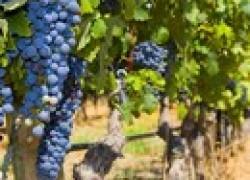 Зачем обрезают виноград