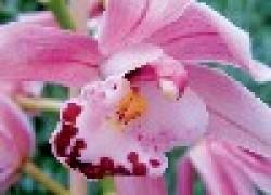 Цимбидиум – неприхотливая орхидея