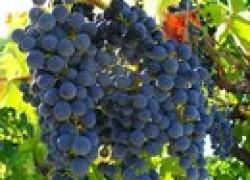 Главный враг винограда