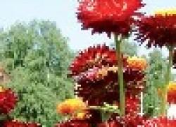Гелихризум: цветущий и прекрасный