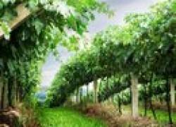 Виноград – зрим в корень (желтые наросты, наплывы, погрызы…)