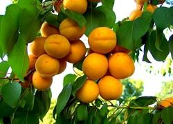 Северные и южные сорта абрикоса