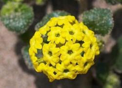 Аброния: радость и изящество в вашем саду