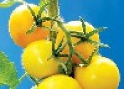 Желтая угроза розовым помидорам