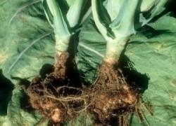 Откуда взялась и как избавиться от килы капусты