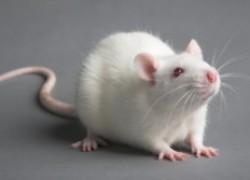 Крыса... декоративная