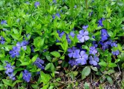 Почвопокровые растения для сада