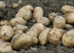 Устойчивые сорта картофеля