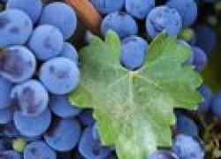 Несколько ошибок начинающих виноградарей