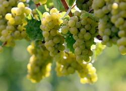 Перекручивание гроздей винограда