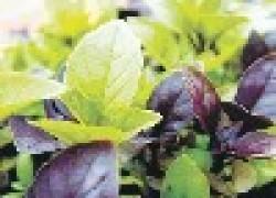 Базилик – царское растение