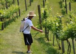 Защищаем лозу винограда