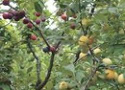 86 сортов яблок на одном дереве