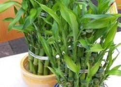 Драцена – растение финансового благополучия