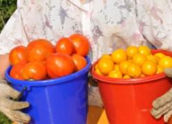 Чем подкормить томаты, чтобы был богатым урожай