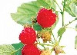 Секреты выращивания большого урожая малины