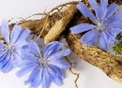 Цикорий при болезни селезенки