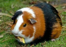 Прививка для морской свинки