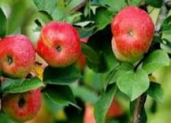 Яблоня погибает