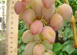 Всё о сорте винограда «Подарок Украины»