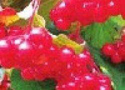 Калина цветет, ягод не дает