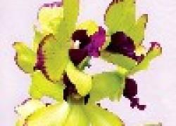 Орхидея - оживший миф