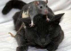 Можно ли кастрировать крысу