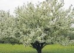 Как сформировать деревья веретеном
