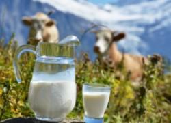 Недержание молока у коровы
