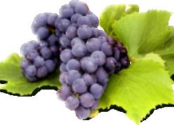 Как стать виноградным селекционером
