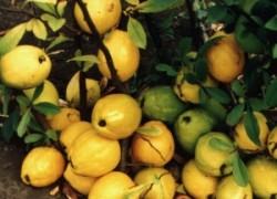 Хеномелес – северный лимон