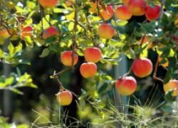 Зимостойкие яблони, груши, сливы