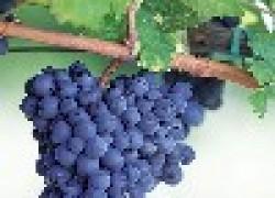В коллекции Романа Дударева 176 сортов винограда
